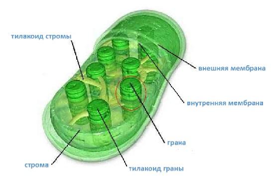 Пластиды доклад по биологии 9001