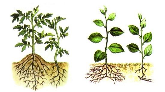 Корень доклад по ботанике 521