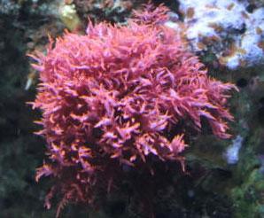 Красные водоросли багрянки доклад 623