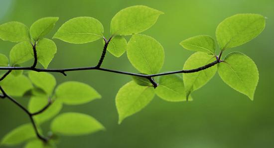 Листья растений - деревьев черешок