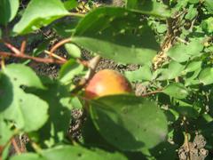 Плоды и семена распространение сухие плоды сочные плоды Плоды и семена