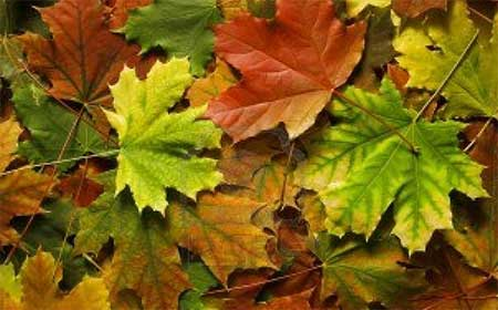 Почему листья желтеют доклад 1412