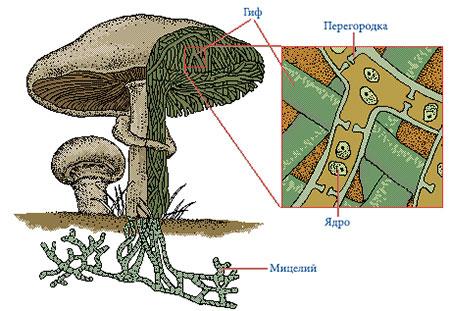 Строение грибов - особенности.