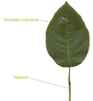 Строение листа, разнообразие листьев, черешок черешок