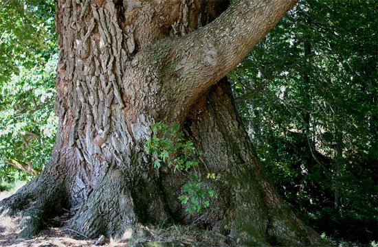 фото ствол дерева